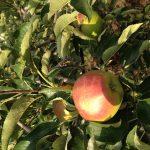 色づき始めた秋映えりんご
